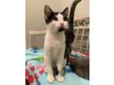 Adopt Twix a Domestic Shorthair / Mixed (short coat) cat in St.