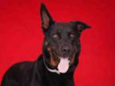 Adopt ACE a German Shepherd Dog
