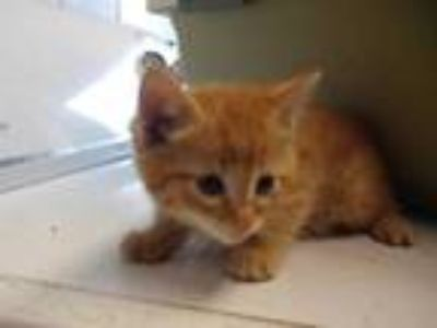 Adopt IKEA a Orange or Red Domestic Shorthair / Mixed (short coat) cat in