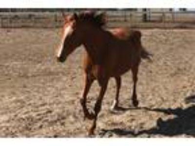 Adopt Emma a Chestnut/Sorrel Quarterhorse horse in Morriston, FL (21453420)