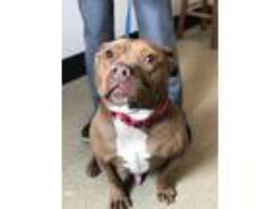 Adopt Snorty a Brown/Chocolate American Pit Bull Terrier / Mixed dog in Novelty