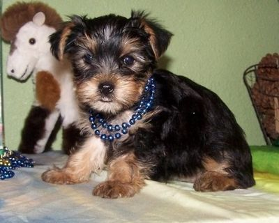 Yorkie puppies available ! ! !
