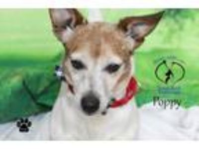 Adopt Poppy a Jack Russell Terrier