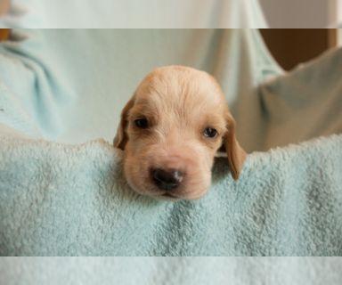 Basset Hound PUPPY FOR SALE ADN-83762 - AKC BASSET HOUND PUPPIES