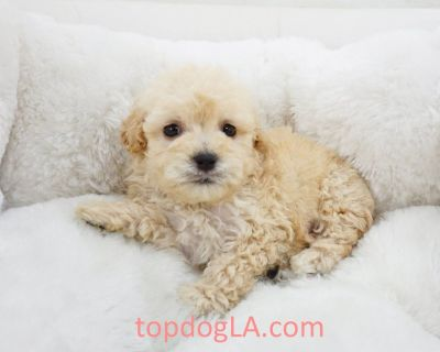 Maltipoo Puppy - Male – Champ ($1,299)