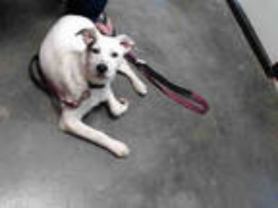 Adopt CLYDE a White - with Brown or Chocolate Labrador Retriever / Mixed dog in