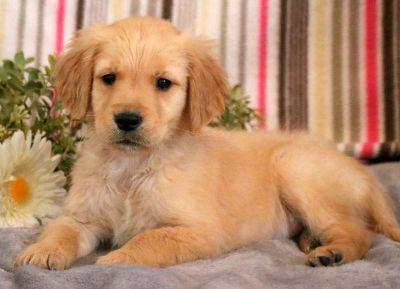 Golden Retriever PUPPY FOR SALE ADN-71283 - Golden Retriever Puppy for Sale