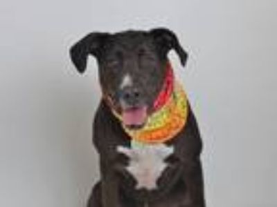 Adopt Rudy a Black - with White Labrador Retriever / American Pit Bull Terrier