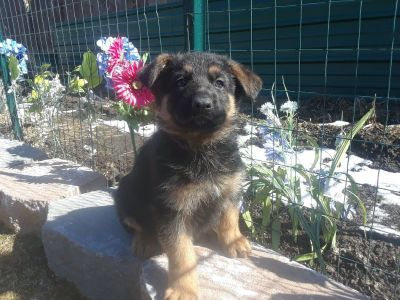 AKC GERMAN SHEPHERD IMPORT PUPPIES