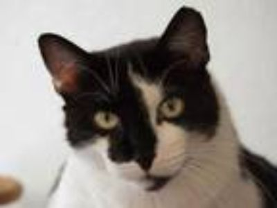 Adopt Bessie a Domestic Shorthair / Mixed (short coat) cat in Cumberland