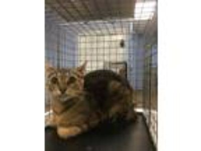 Adopt 1208 Sherrington Woods Dr. a Brown or Chocolate Domestic Shorthair /