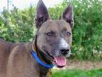 Adopt BUDDY a Black - with Brown, Red, Golden, Orange or Chestnut Akita / Mixed