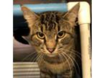 Adopt Ferrell a Abyssinian, Domestic Short Hair