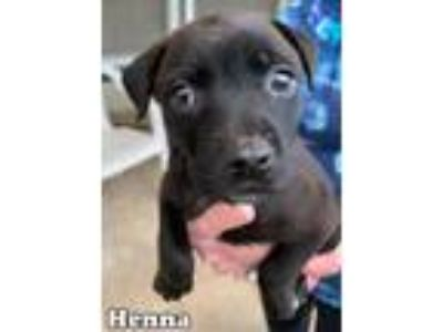 Adopt Henna a Black Labrador Retriever / Australian Shepherd / Mixed dog in