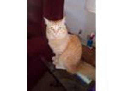 Adopt George a Orange or Red Domestic Mediumhair cat in Kingman, AZ (25080868)
