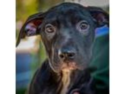 Adopt Baxter a Pit Bull Terrier / Mixed dog in St. Petersburg, FL (25359440)