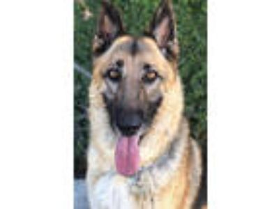 Adopt Wylie - CP a German Shepherd Dog