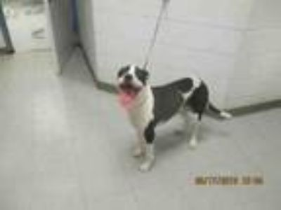 Adopt BUFFORD a Pit Bull Terrier