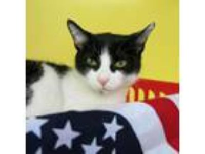 Adopt Rosaleen a All Black Domestic Shorthair cat in Northbrook, IL (25542462)