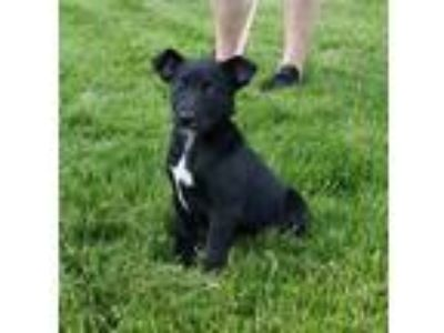 Adopt Coal a Labrador Retriever, Border Collie