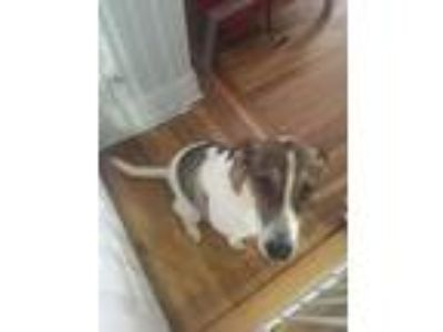 Adopt Laura a Brown/Chocolate - with White Hound (Unknown Type) / Boston Terrier