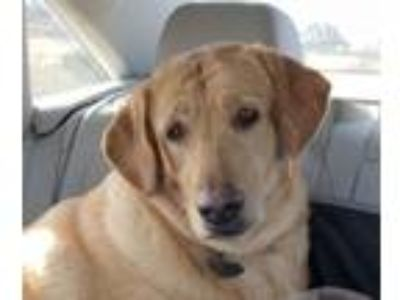 Adopt Billie Holiday a Labrador Retriever