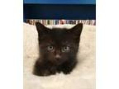 Adopt Keith a All Black Domestic Shorthair (short coat) cat in Frankfort
