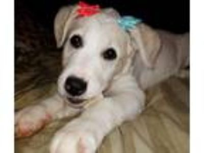 Adopt DOTTIE a White Great Pyrenees / Mixed dog in Elyria, OH (25583546)