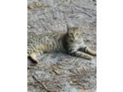 Adopt Fuli a Brown Tabby Bengal cat in Spring Hill, FL (24990928)
