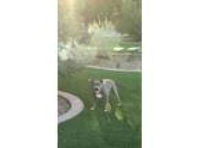 Adopt Botti a Gray/Blue/Silver/Salt & Pepper Bull Terrier / Mixed dog in