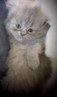 Hard to find All Blue Female Persian kitten