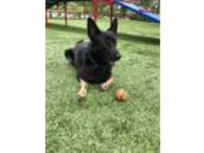 Adopt Roxy a Black - with Tan, Yellow or Fawn German Shepherd Dog dog in