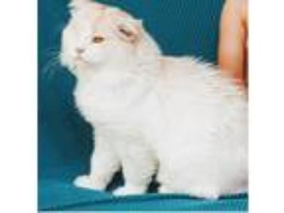 Adopt Cloudy a Cream or Ivory (Mostly) Maine Coon (long coat) cat in Ennis