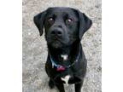 Adopt LANDO a Labrador Retriever, Mixed Breed