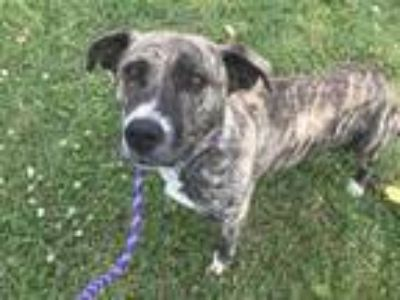 Adopt ELAINE a Pit Bull Terrier, Mixed Breed
