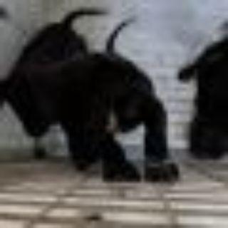 Pat Black Labrador Retriever Dog