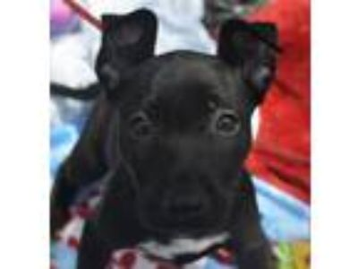 Adopt Macaroon a Black - with White Labrador Retriever / German Shepherd Dog /