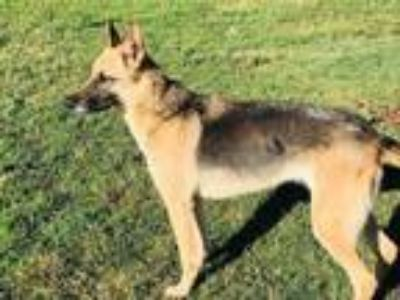 Adopt Annie a German Shepherd Dog