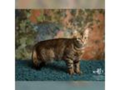 Adopt Whiskey a Tabby