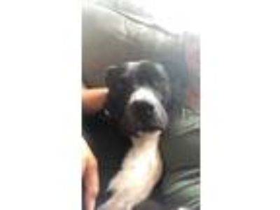 Adopt Fiona Falk a Black - with White Pit Bull Terrier / Border Collie dog in