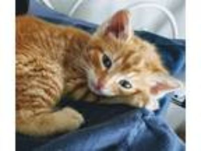 Adopt Lover a Domestic Shorthair / Mixed cat in Mipiltas, CA (25797025)