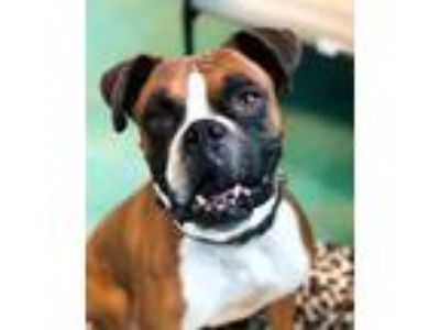 Adopt Ozzie a Red/Golden/Orange/Chestnut - with White Boxer / Mixed dog in