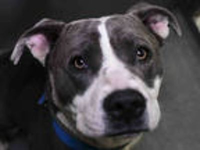 Adopt ZEKE a Gray/Silver/Salt & Pepper - with White American Pit Bull Terrier /
