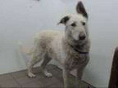 Adopt TOVA a German Shepherd Dog, Mixed Breed
