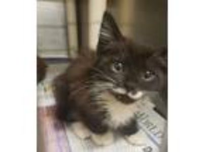 Adopt Chowder a All Black Domestic Shorthair / Domestic Shorthair / Mixed cat in