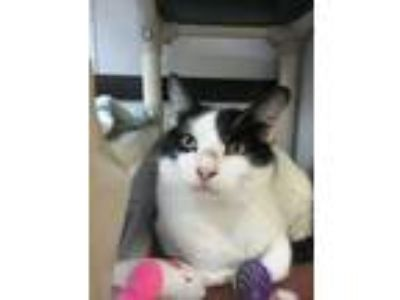 Adopt Sarge a White Domestic Shorthair / Domestic Shorthair / Mixed cat in