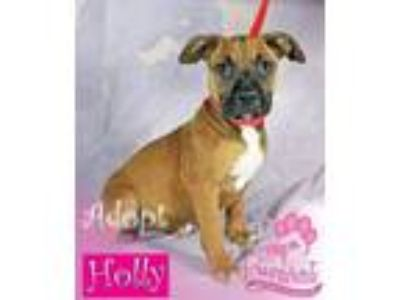 Adopt Holly a Boxer, Labrador Retriever