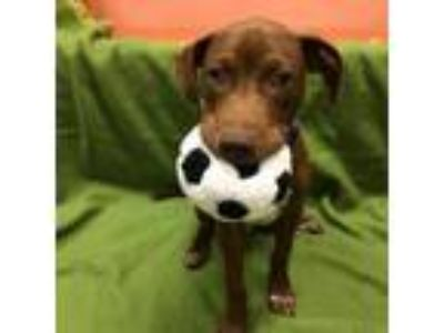 Adopt Poseidon a Labrador Retriever, Pointer