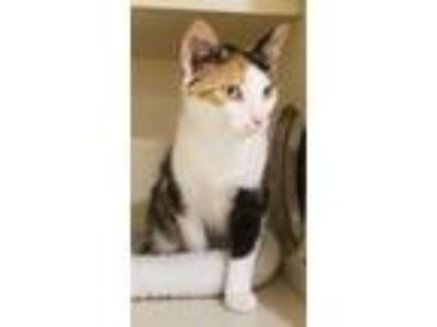 Adopt Squeaky a White Domestic Shorthair / Domestic Shorthair / Mixed cat in