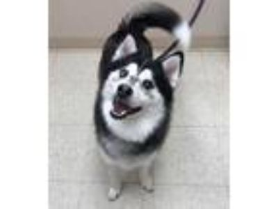 Adopt Baxter a Black Pomeranian / Husky / Mixed dog in Noblesville